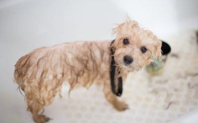 Our Guide on Andis Dog Clippers for Home Or Professionals